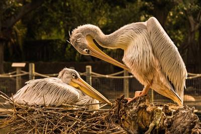George & Harriet ~ The Nesting Pelican