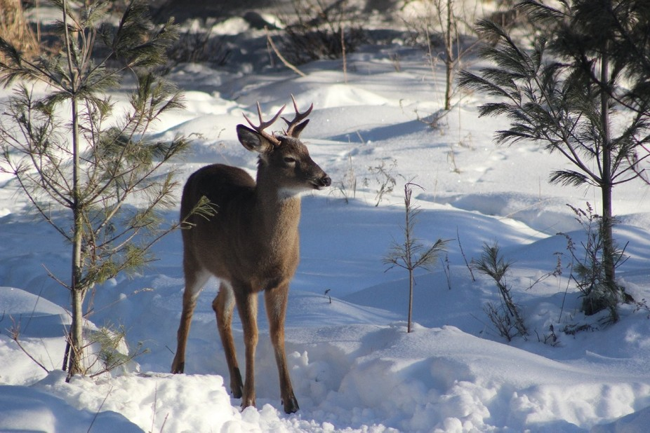White-Tailed Buck, young, in snow