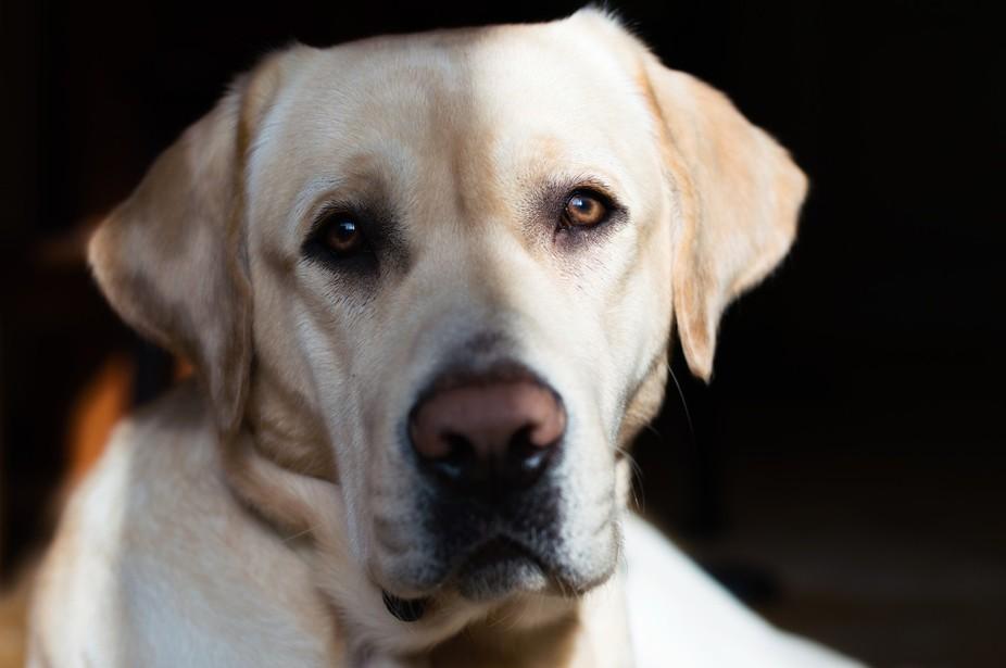 My labrador retriever Jagger!