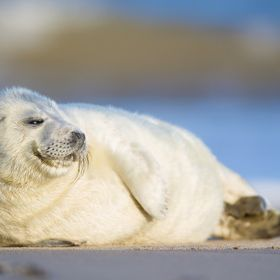 Around half of the world's population of grey seals are found around Britain, therefore their protection is of international conservation importa...