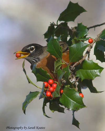 Robin with Holly berry