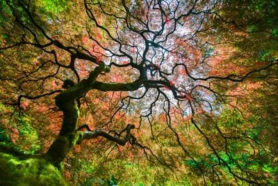 Autumn at the Japanese Maple