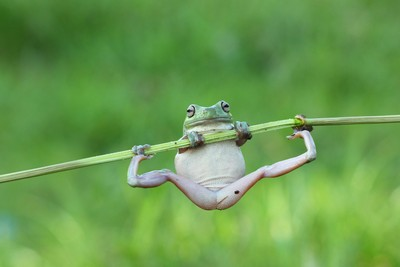 Dumpy tree frogs