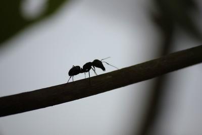 ANTS walk