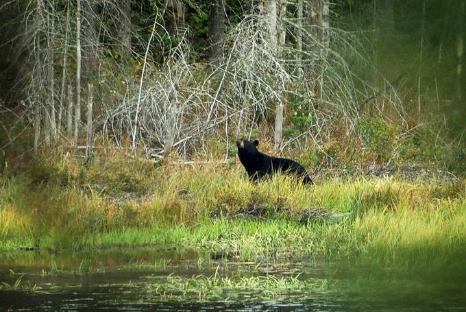 Taken with Nikon D50 using AF-S Nikkor 15-80mm 1:3.5-5.6 G lens.  The bear was about 150 yards away, across a pond.  Enhanced and resized with onOne Perfect Photo Suite 9.