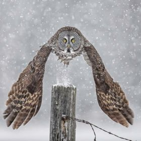 Great grey owl taking off from a fence post