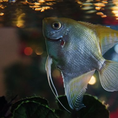 An angel fish in an aquarium back-lit by the lights of a Christmas tree.