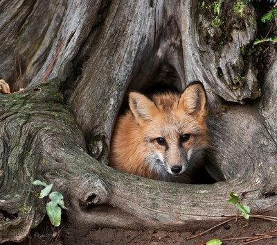 Fox_looking_out_from_treetrunck