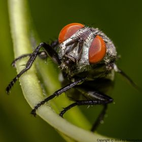 Head shot of a female house fly. Taken with a nikkor 28mm f2.8D lens reverse mounted on D5100.