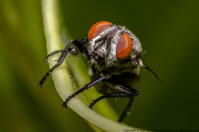 Face shot of house fly