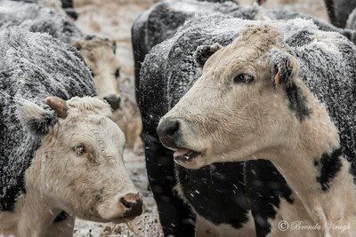 Hoarfrost Cows