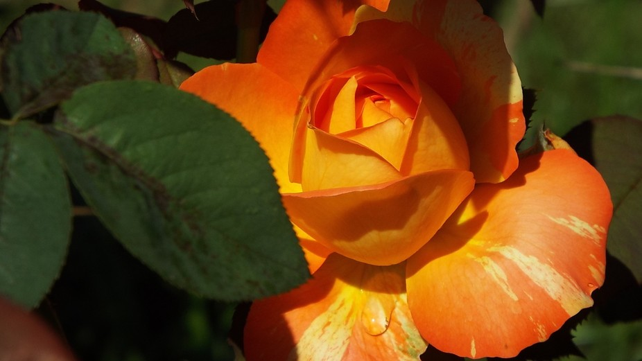 Tropicana Rose in Shadow