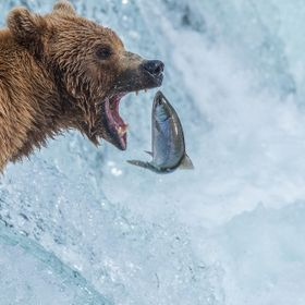 Brown Bear waits with mouth wide open for jumping Salmon in Katmai National Park, Alaska.