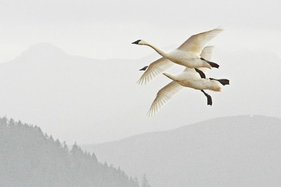 Background Swans
