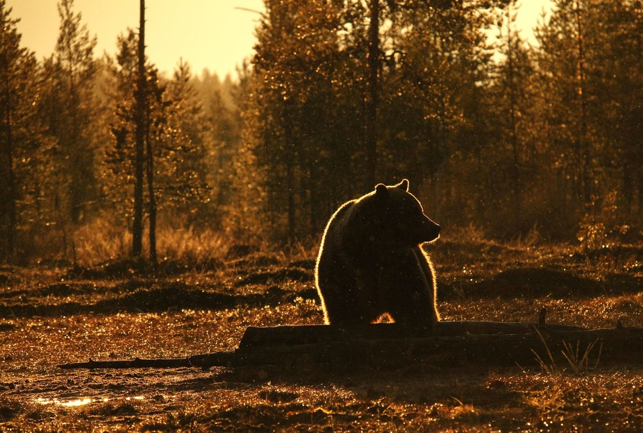 I shot this photo in finland. I wait the bears under the rain for 3 hours. and when one of them c...