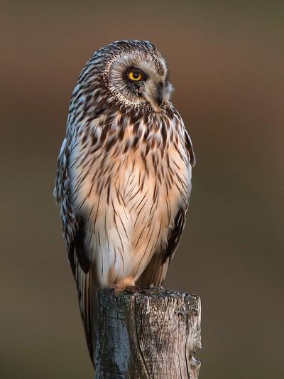 SHORT EARED OWL by Jamie MacArthur