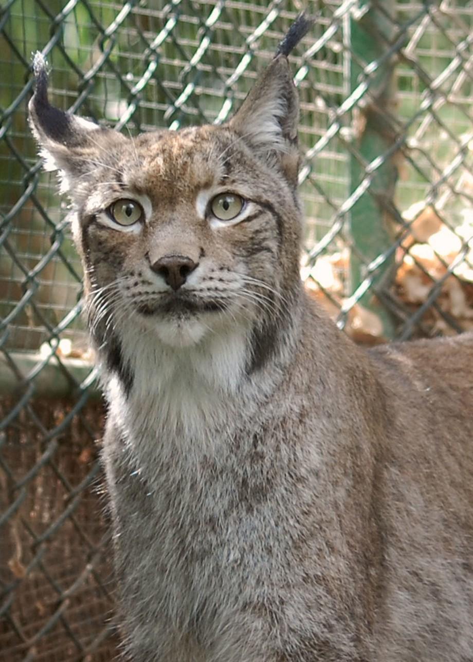 Lynx alert