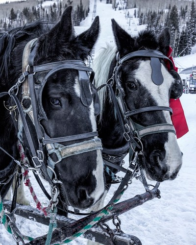 percheron sled team