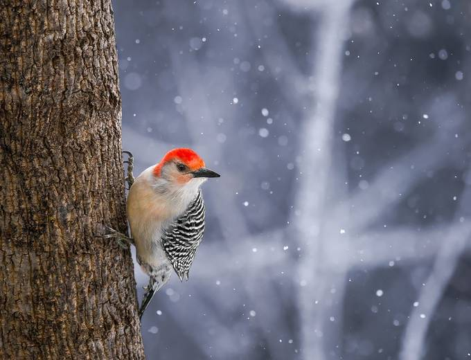 Red Bellied Woodpecker by Cbries - The Beauty Of Nature Photo Contest