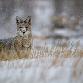 Coyote hunting voles during a snow storm, Morrison, Colorado.