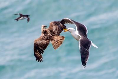 Seagull and a Buzzard