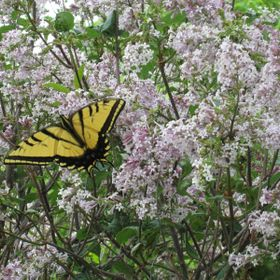 butterfly in lilacs