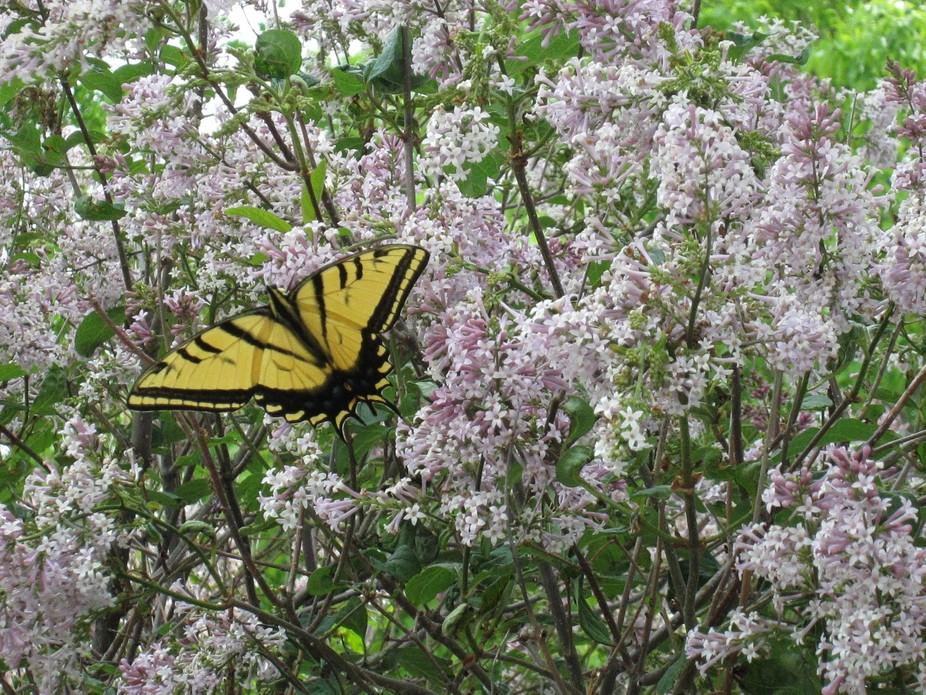 butterfly in lilacs