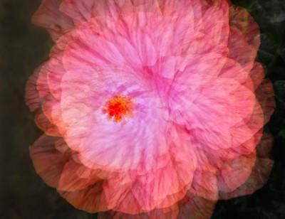 Hibiscus Dance