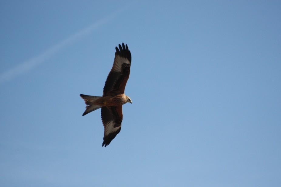 red kites 2013 185
