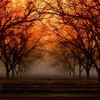 A misty morning in the Pecan groves of Roswell, New Mexico.