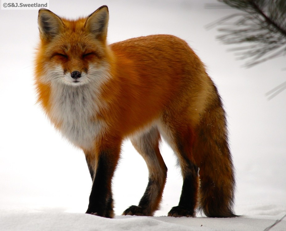 This sweet, beautiful little fox was having a good day, in Algonquin Park, Ontario. So was I!