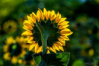Sunflower Glow