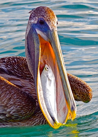 Pelican Breakfest CU