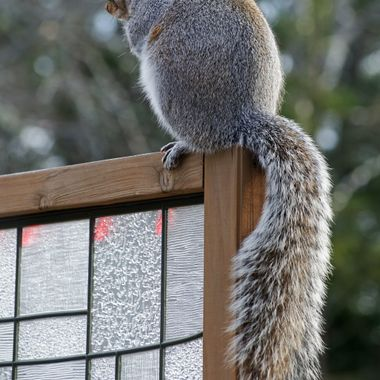 A grey Squirrel sitting on top of a patio privacy screen.