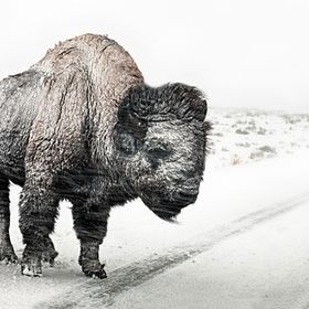A Bison during a snow storm, in Lamar Valley, Yellowstone National Park, WY.