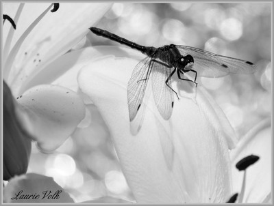 Laurie_Volk_Photography