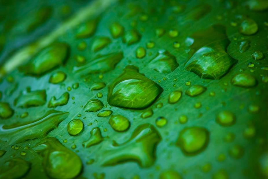 Macro shot of rain drops on a green leaf.