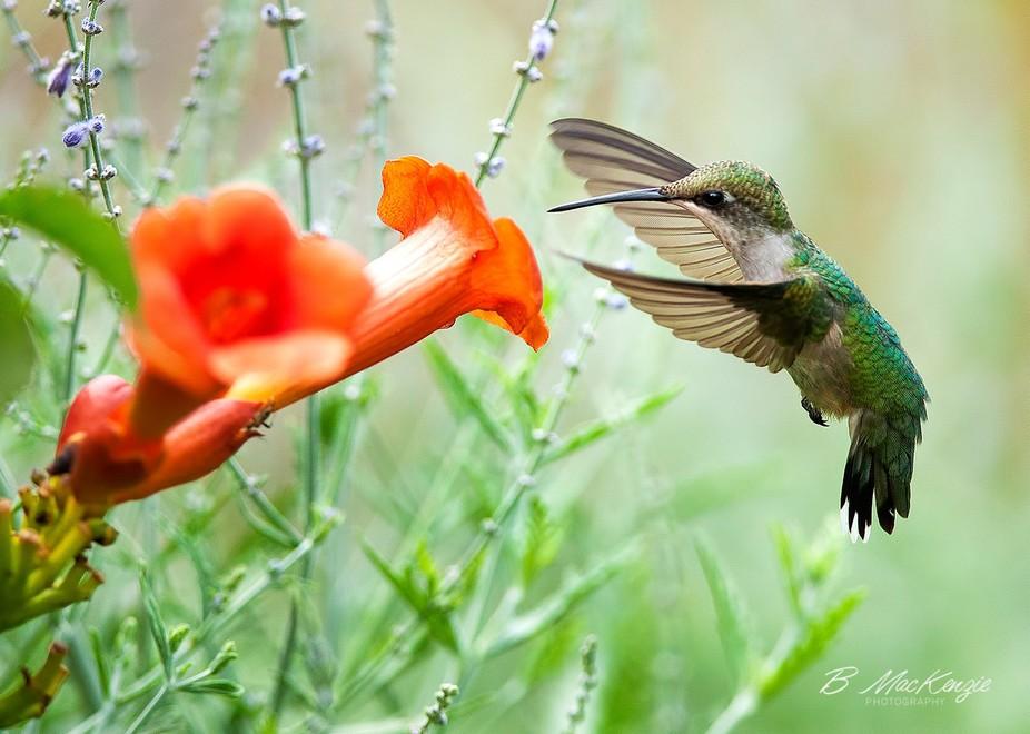A Hummingbird and a Trumpet Vine flower.