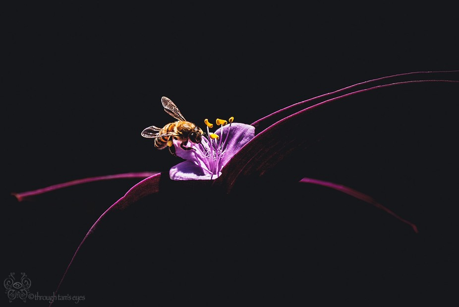 Captured a bee collecting pollen on a Wandering Jew plant.