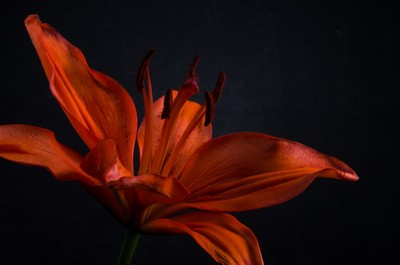 Orange Lily with Back light