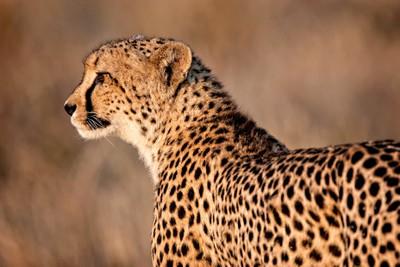Cheetah Profle