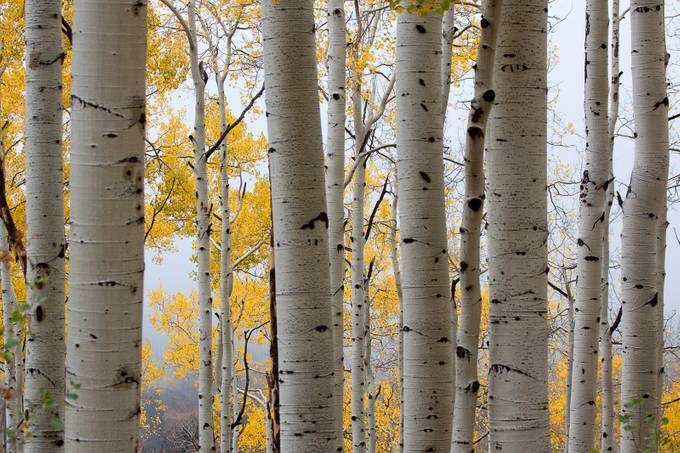 Rainy Day Aspen by jimgarrison - Divine Forests Photo Contest