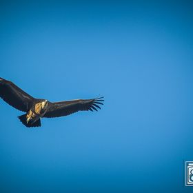 Picture of a vulture flying on the blue sky. Foto de un buitre volando en el cielo azul. Shooted by davekustomshots.com