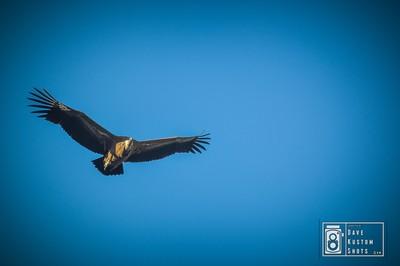 Vulture - Buitre