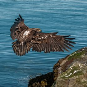 young eagle landing on this rocky beach