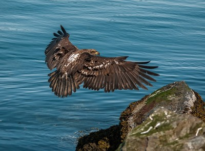 Young eagle flairing to land