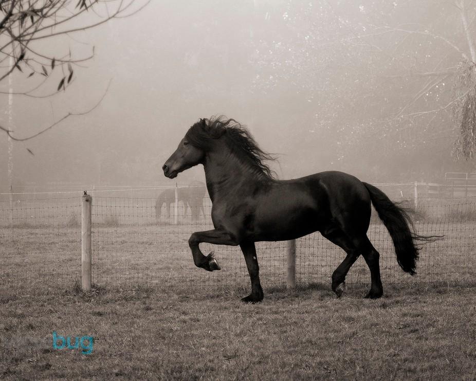 Otto fan Kenettas, Friesian Stallion of Dragonfly Acres