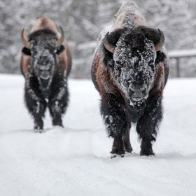 Frozen Bison blocking the road in Yellowstone National Park.