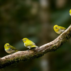 Oriental white-eye(s):   While waiting their turn on water bath everyone seems to be mesmerized by the ones who are having bath below