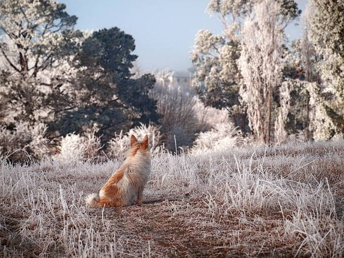 Frosty morning at Ouse, Tasmania. Pee Wee sits and admires the view.